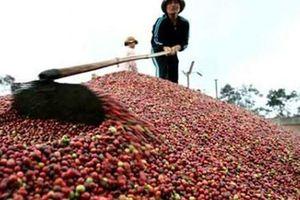 Xuất khẩu cà phê giảm đáng kể