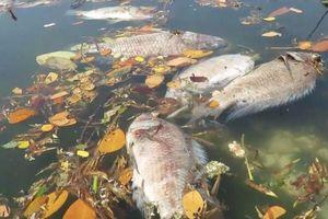Đà Nẵng: Xác định nguyên nhân cá chết trắng sông Phú Lộc