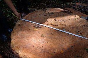 Lâm tặc đốn hạ cây thông hơn 100 tuổi ở Lâm Đồng