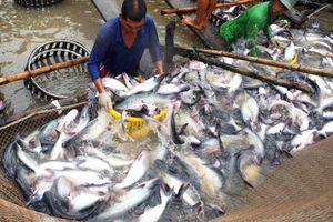Mỹ tăng thuế đối với cá tra xuất khẩu Việt Nam