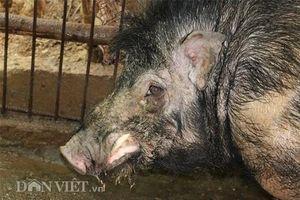 'Quái vật' lợn rừng 200kg, da dày cộp, móng khủng