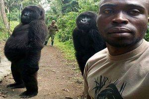 Khỉ đột bất ngờ nổi tiếng nhờ tạo dáng oai vệ chụp ảnh tự sướng