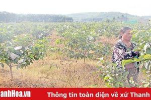 Phát triển cây ăn quả ở xã Thành Tâm