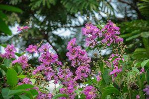 Hà Nội mùa hoa bằng lăng