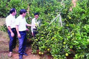 Bắc Giang: Thu nghìn tỷ từ cây có múi