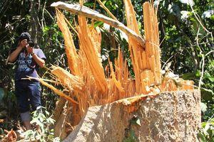 Phá rừng phòng hộ Trà Leng để mang gỗ về làm nhà?