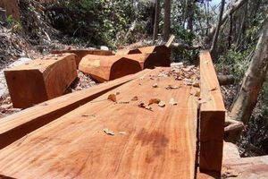 Quảng Nam: Phát hiện hàng ngàn m3 gỗ hàng trăm năm tuổi bị chặt phá