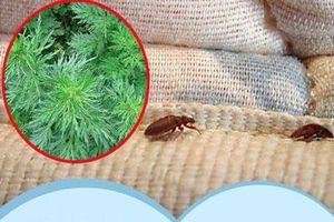 Bọ rệp giường hoành hành ngày mưa ẩm, chỉ cần nguyên liệu này thôi là có thể 'đánh bay' bọn chúng