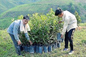 Liên kết trồng mắc ca