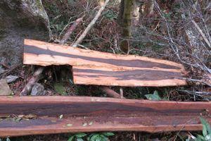 Cả trăm m3 gỗ Vườn Quốc gia bị đốn trái phép
