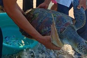 Phát hiện nhiều rùa biển quý hiếm mắc cạn