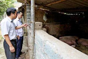 Sơn Tây tiêu hủy 205 con lợn mắc dịch tả châu Phi