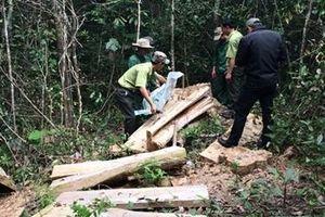 Những cánh rừng pơ mu quý hiếm đang bị tận diệt