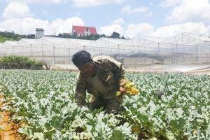 Lâm Đồng: Ðồng bào dân tộc thiểu số trồng rau hữu cơ