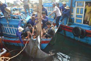 Ngư dân Lý Sơn đánh bắt được 2 con cá nạng nặng hơn 1 tấn