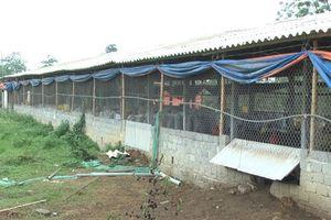 Thanh Hóa: Nghiện ma túy đột nhập nhà dân bắt trộm 1.400 con gà