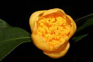 Khám phá ra loài trà hoa vàng mới, mọc trên núi đá vôi ở Việt Nam