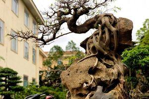 Lấy cây sanh 'cùi' ký vào phiến đá khá khù khoằm, 20 năm sau ra giá nửa tỷ đồng