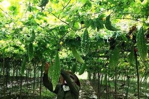 Thu nhập cao từ trồng cây mướp đắng sạch ở Hiền Ninh