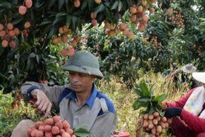 Đưa vải thiều sang Trung Quốc: An tâm khi có mã số vùng trồng