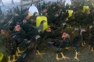 Bỏ phố về quê nuôi gà, bán cho nhà hàng, đám xá với giá cao