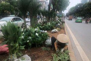 Hà Nội: Phủ xanh hàng nghìn cây hoa dải phân cách đường Kim Mã