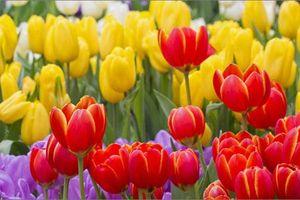 Rực rỡ thảm hoa tulip lớn nhất thế giới thu hút du khách