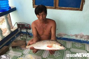 Ngư dân Khánh Hòa bắt được cá sủ vàng quý hiếm nặng 3kg