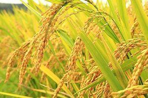 Thị trường giống cây trồng hậu M&A: NSC và SSC