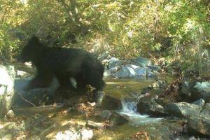 Phát hiện gấu sắp tuyệt chủng ở khu phi quân sự liên Triều
