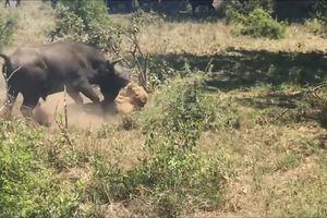 Thế giới động vật: Sư tử ốm yếu rình mò bị trâu hất văng
