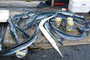 'Soi' loài cá có danh 'vua mặt nước', phổ biến ở miền Trung