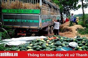 Nông dân huyện Như Xuân thu nhập hơn 250 triệu đồng/ha từ cây dưa hấu