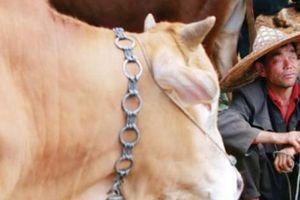 'Sàn giao dịch' gia súc miền biên viễn