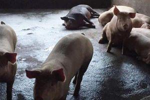 Bắc Kạn lại bùng phát dịch tả lợn châu Phi sau công bố hết dịch