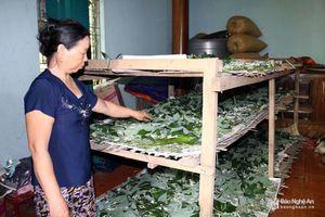 Đầu mùa, nông dân Anh Sơn nuôi tằm ăn lá sắn thu lãi cao