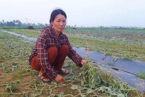Gia đình người dân Nghệ An khóc nghẹn bên ruộng dưa bị phá hoại