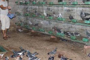 Trai bản Hà Giang bán 400 đôi bồ câu 1 tháng, thu 50 triệu đồng