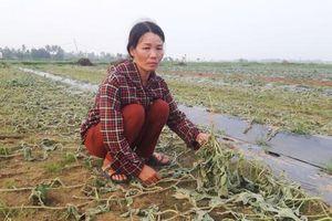 Gia đình nông dân khóc nghẹn bên ruộng dưa bị phá hoại
