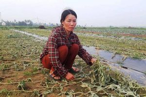 Truy tìm đối tượng phá hoại 5 sào dưa hấu ở Nghệ An