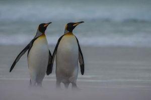 Yêu đời hơn gấp vạn lần khi xem vợ chồng chim cánh cụt 'hâm nóng' tình cảm