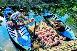 Đẹp lạ lùng hoa súng mùa hạn, nông dân U Minh có thu nhập khá