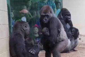 Khỉ đột biết ôm con trú mưa giống hệt con người
