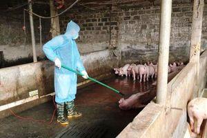 Virus gây dịch tả lợn châu Phi có thể tồn tại trong thịt đông lạnh đến gần 3 năm