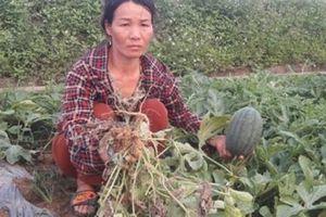 Hội Nông dân tỉnh Nghệ An lên án hành vi phá hoại 5 sào dưa hấu