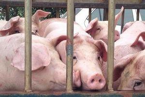 Đồng Nai đã tiêu hủy gần 1.000 con lợn do dịch tả lợn châu Phi
