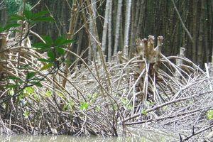 Truy tìm thủ phạm tự ý chặt phá cây đước ở rừng phòng hộ