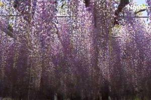 Lạc bước vào thế giới phim ''Avatar'' ở lễ hội hoa tử đằng Nhật Bản