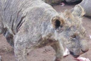 Hơn trăm sư tử bị bỏ đói: Sự thật kinh hoàng