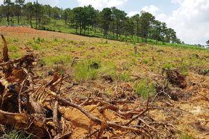 Tiếp tục xảy ra nhiều vụ phá rừng thông để chiếm đất ở Lâm Đồng